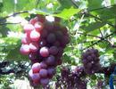 供应出售龙眼葡萄
